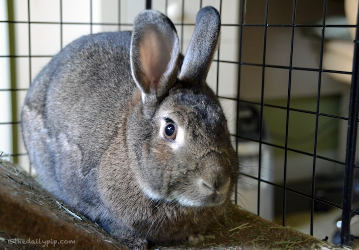 special needs rabbit adoption, californian rabbits