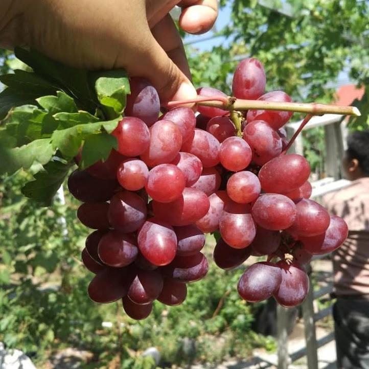 Bibit anggur import ninel hasil grafting Jawa Timur