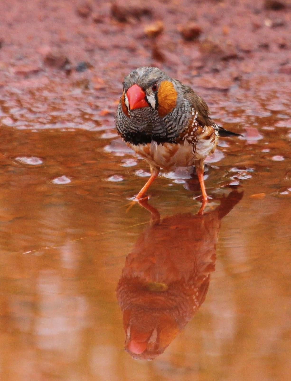 Richard Waring's Birds of Australia: Wild Zebra Finch Bath ...