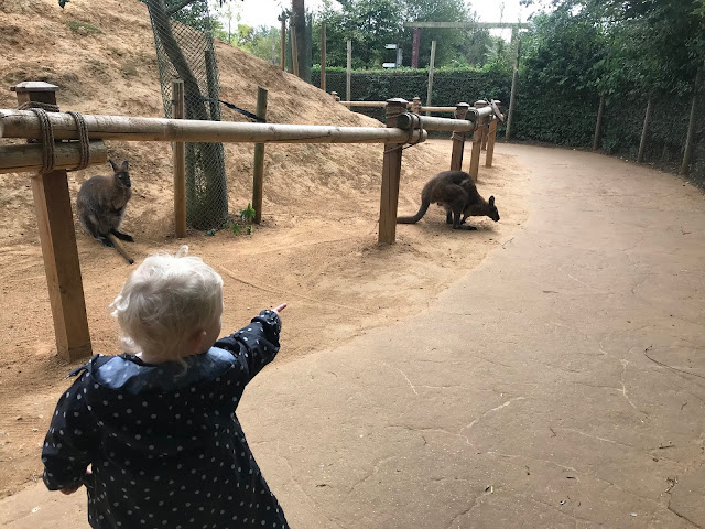 A toddler pointing at a wallaby visiting Colchester zoo