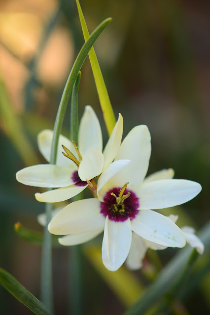 ixia, wand flower, small sunny garden, desert garden, amy myers, photography, about the garden, plant selection