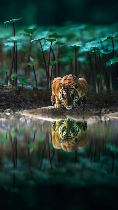 Con hổ bên đầm sen