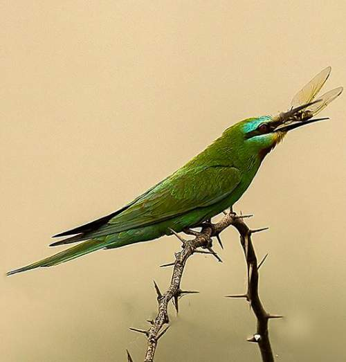 Indian birds - Picture of Blue-cheeked bee-eater - Merops persicus