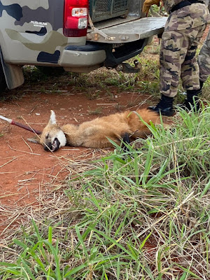 PM resgata lobo-guará atropelado na DF-140