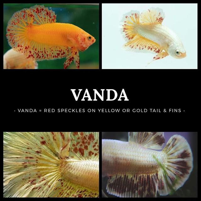 30 Spesies Ikan Laga (Betta Fish) Dengan Pelbagai Corak ...