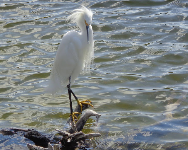 Snowy egret on driftwood in lake
