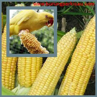 jagung untuk menurunkan birahi burung