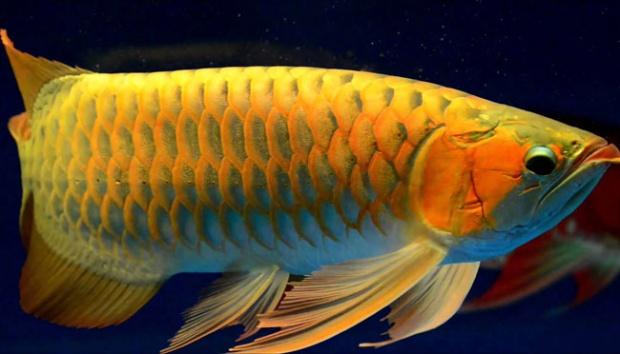 Cari Supplier Jual Bibit Ikan Arwana Cilacap Terjangkau