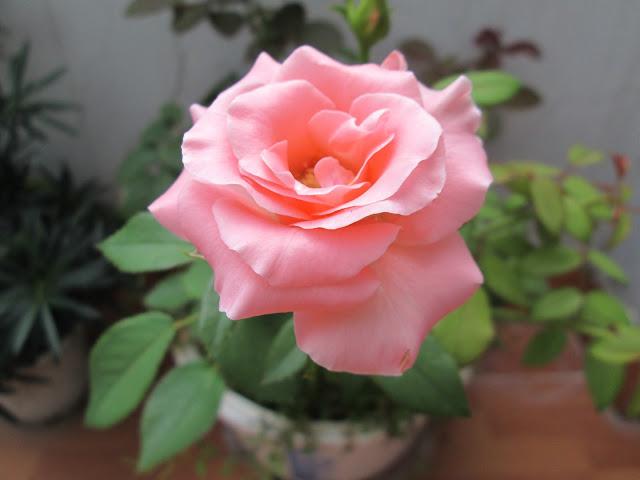 y nghia hoa hong phot