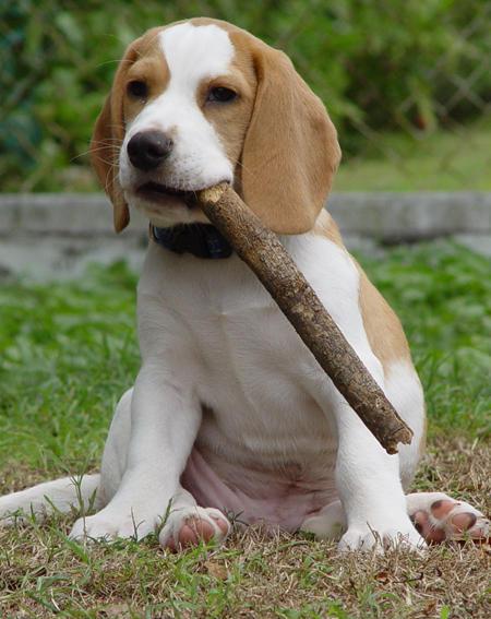 Lemon Beagle Puppies | Beagle Puppy  |Lemon Beagle Puppies