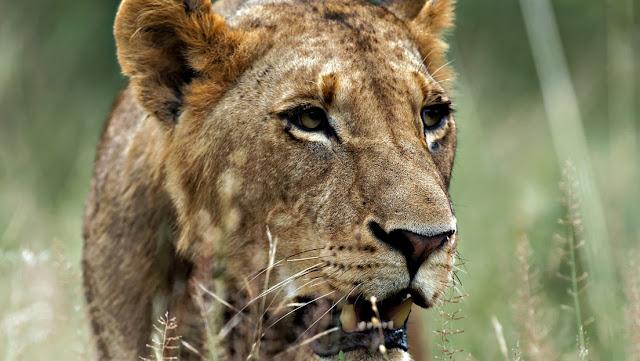 Muere un conservacionista tras ser atacado por sus propios leones delante de su esposa