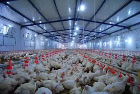 """الجزائر : السماح """" استثناء """"  بتصدير الدجاج البيض إلى موريتانيا - وثيقة"""
