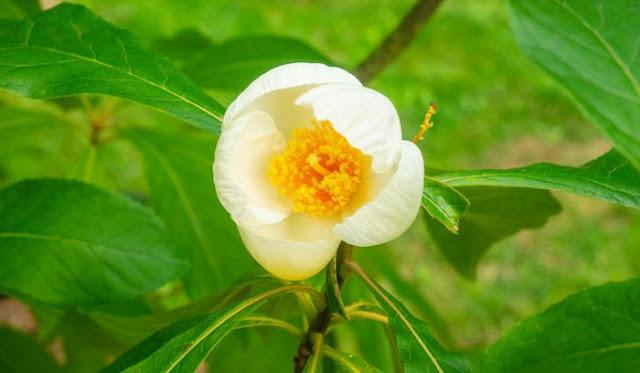 Bunga Franklin Tree Flower