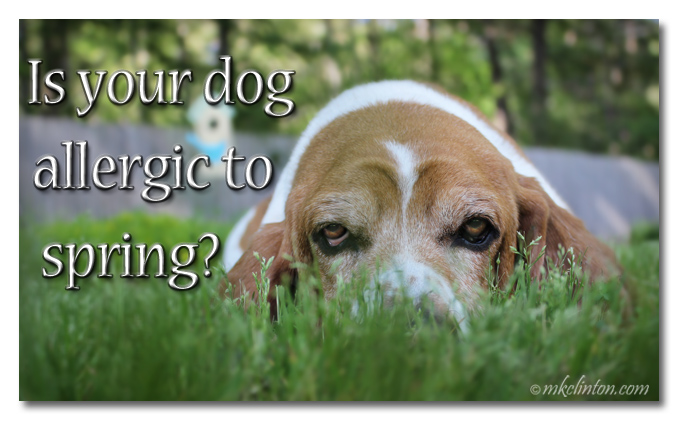 "Basset Hound in the grass meme ""Is your dog allergic to spring?"""
