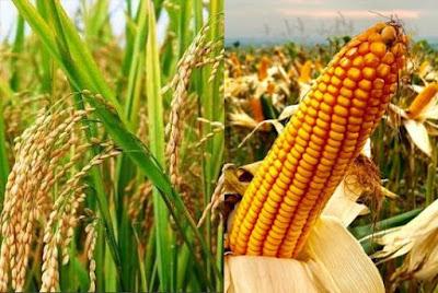 Perusahaan bibit padi dan jagung Jawa Timur