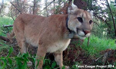 Mountain Lions Versus Black Bears
