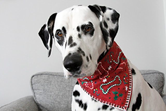 Dalmatian dog wearing an ugly Christmas sweater bandana