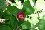 Flor Paeonia Obovata