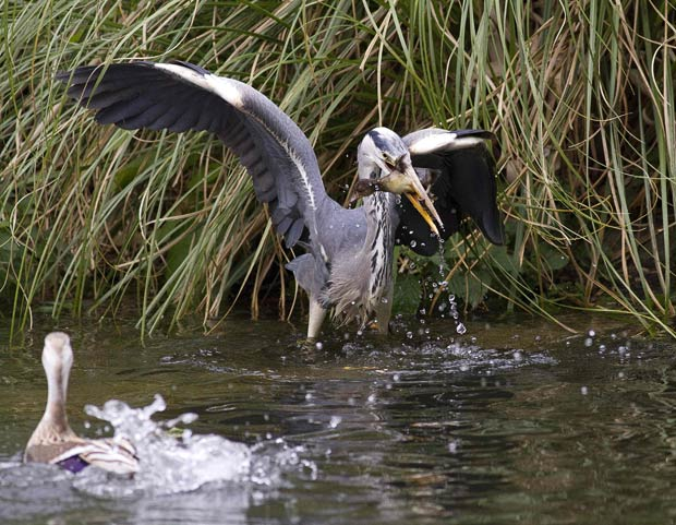 heron eating baby duck in front of mother duck