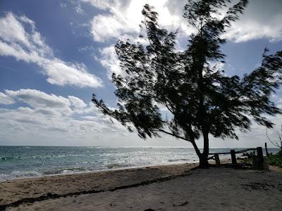 Wind blown tree on the beach