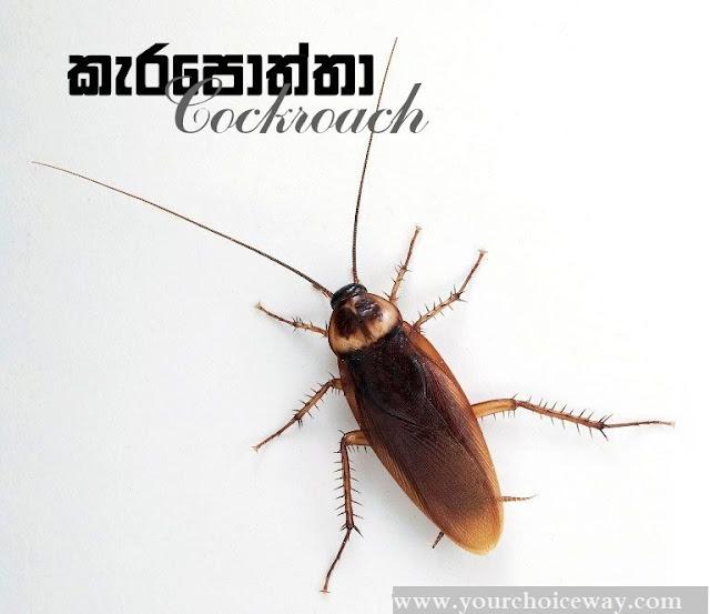 කැරපොත්තා - ඔබේ ගෙදර ඉන්න කැරපොත්තා ගැන ඔබ නොදත් කරුණු රැසක් (Cockroaches)