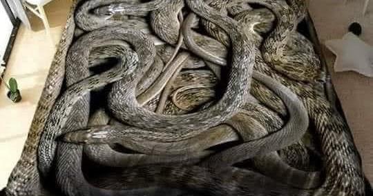 Snake Bed Sheets....