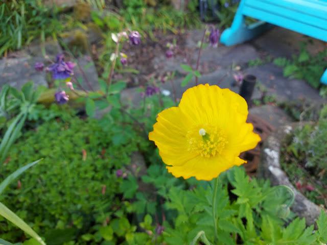 Yellow Welsh poppy flower against green leaves