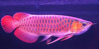 Kiat Jitu Menjalankan Bisnis Ikan Arwana