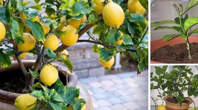 Grow A Lemon Tree From Seeds In Your Own Home