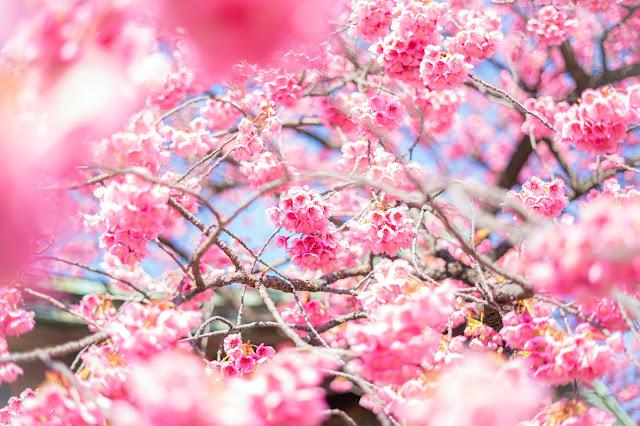 前ボケ,桜,寒緋桜