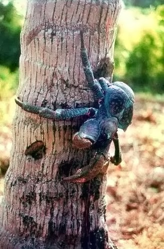 Image of coconut crab climbing a tree
