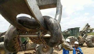 Inikah Ular Anaconda Terbesar di Dunia?