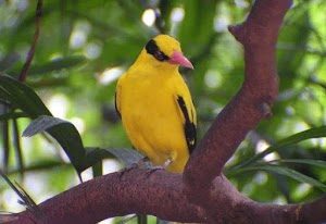 Characteristics of Kepodang Bird and its Complete Treatment