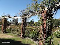 The climbing roses - Wellington Botanic Garden, New Zealand