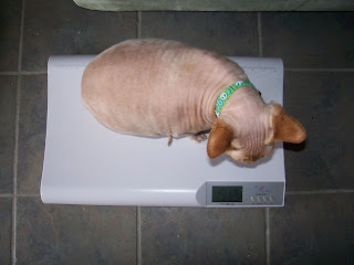 Disco NoFurNo, Sphynx on a diet, baby scale