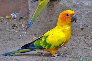 Burung Paruh Bengkok Sun Conure