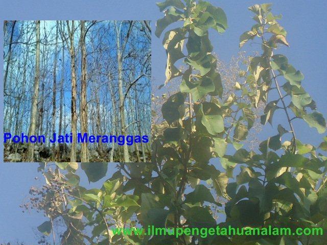 Pohon Jati Meranggas