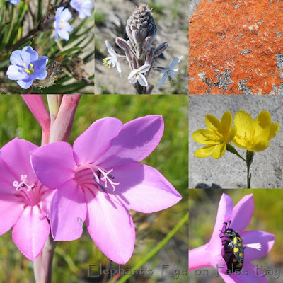 September bulbs at Cape Point