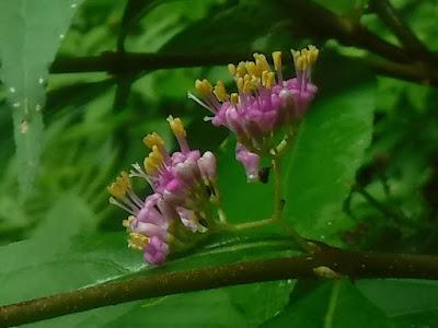 ムラサキシキブの花を拡大