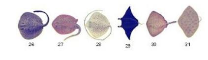 Mengenal Jenis Jenis Ikan Pari