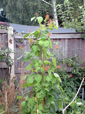 Runner bean vines flowering next to a fence