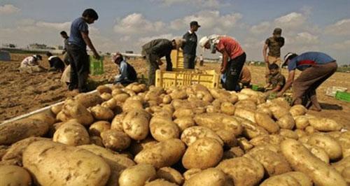 زراعة البطاطا تنعش أراضي السويداء.؟