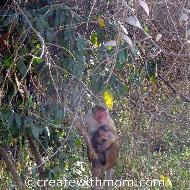 minneriya monkey with its baby