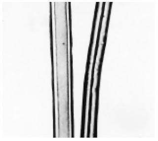 Longitudinal-View-500X-phormium-fibre