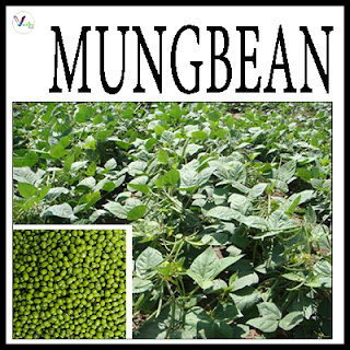 MungBean Varieties