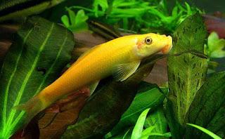 Lemon algae eater