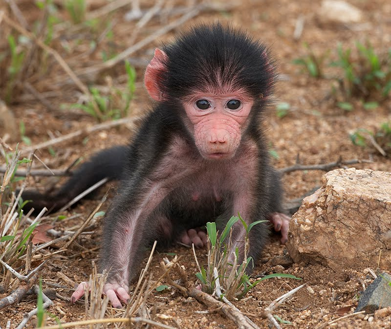 Animals Pictures, Baby Baboon, Baboon Adoptions