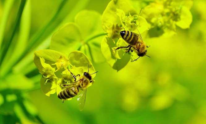 70 Gambar Hewan Lebah HD