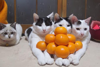 Кошки и мандарины