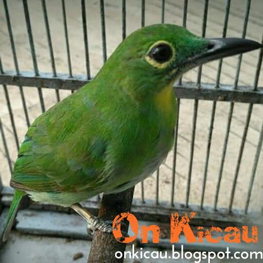 Cara Merawat Cucak Ijo Betina Agar Gacor Dan Ngeplong Seperti Burung Jantan On Kicau